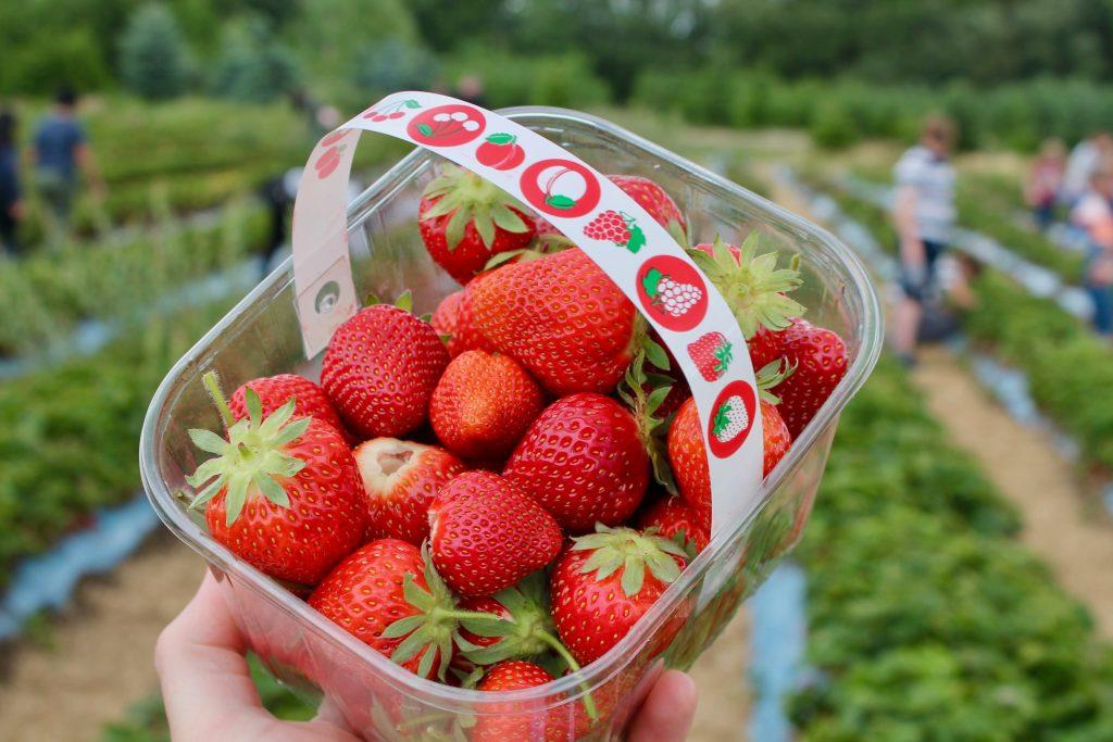 strawberry picking in hampton roads virginia